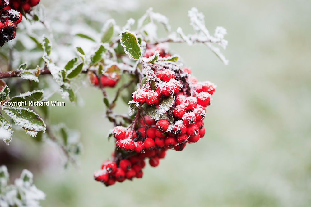 Closeup of a cluster of Pyracantha berries after heavy overnight freezing fog, which lingered throughout the day, showing a thick covering of ice.