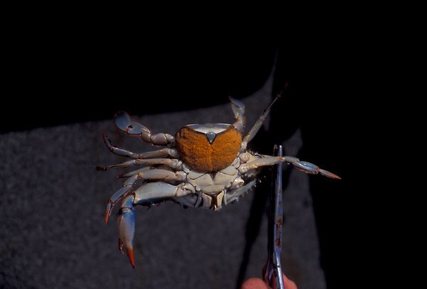 Stock photo of holding a female blue crab (Callinectes sapidus) with eggs