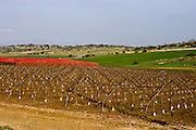 Israel, Negev, Lachish region, Pruned grape vines