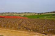 Israel, Negev, Lachish region, Pruned grape vines