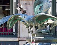 Rock Pigeon. Copenhagen, Denmark. Image taken with a Nikon D4 camera and 80-400 mm VR lens.