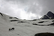 Ponies loaded with camping supplies on a trek in Vishnasar Valley, in the Himalayan mountains Kashmir India..