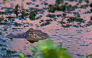 Baby Alligator in Moll Canal leading to Lake Des Allemands in St. John Parish part of Louisnana's wetlands. The wetlands were threatened by the BP oil spill but containment of the Macondo well saved most of the bayous lakes and waterways that make their way to the Gulf of Mexico. Louisiana's wetlands are threaten by coastal erosion, climate change and the oil and gas industry.