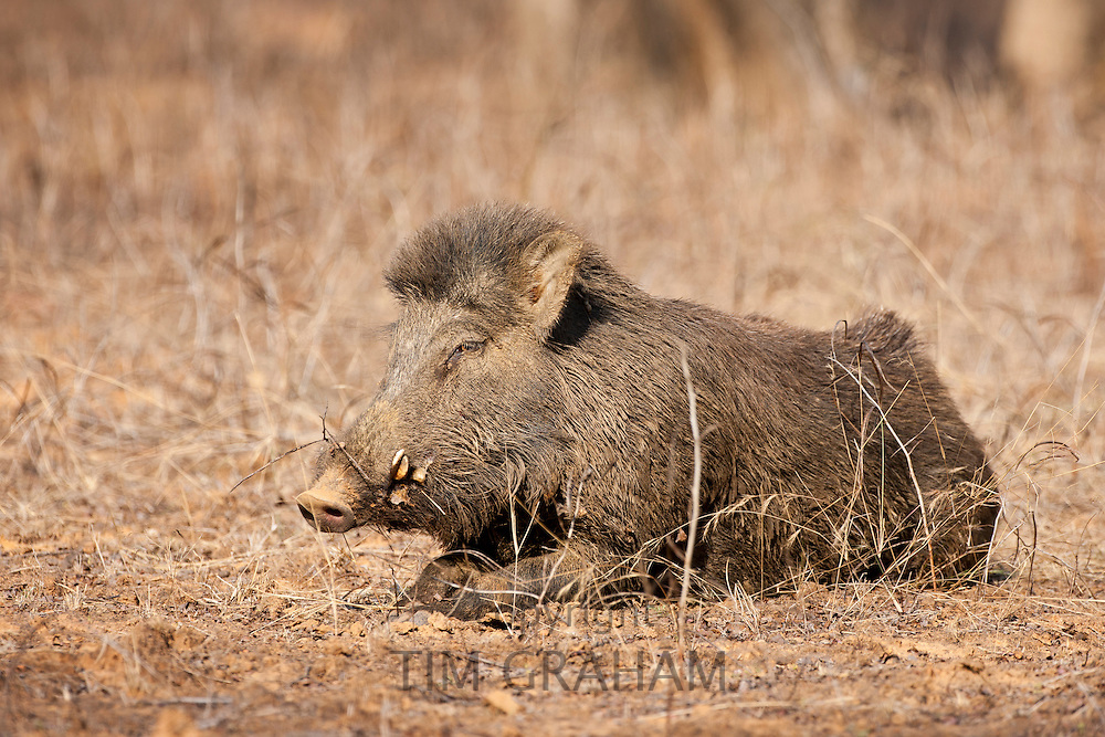 Wild boar, Sus scrofa, in Ranthambhore National Park, Rajasthan, India