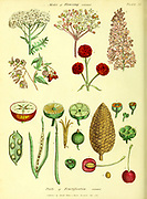 Modes of Flowering from Vol 1 of the book The universal herbal : or botanical, medical and agricultural dictionary : containing an account of all known plants in the world, arranged according to the Linnean system. Specifying the uses to which they are or may be applied By Thomas Green,  Published in 1816 by Nuttall, Fisher & Co. in Liverpool and Printed at the Caxton Press by H. Fisher