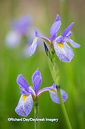 63899-05301 Blue Flag Iris (Iris versicolor) in wetland, Marion Co., IL