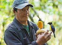 Black-chinned mountain tanagers, Anisognathus notabilis, perched on a banana held by bird guide Angel Paz. Refugio Paz de las Aves, Ecuador