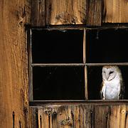 Common Barn Owl (Tyto alba) in an old barn. Captive Animal