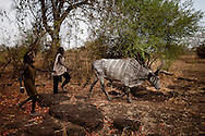 Children herd a cow with traditional markings back to their camp.