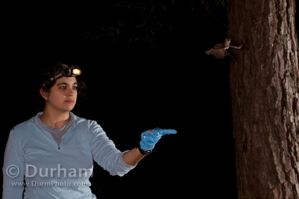 Biologist Leigh Stuemke releases a Rafinesque's Big-eared Bat (Corynorhinus rafinesquii) after collecting dna and data. Big Thicket National Preserve, Texas.