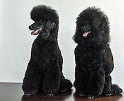Two Black Medium or Moyen poodle