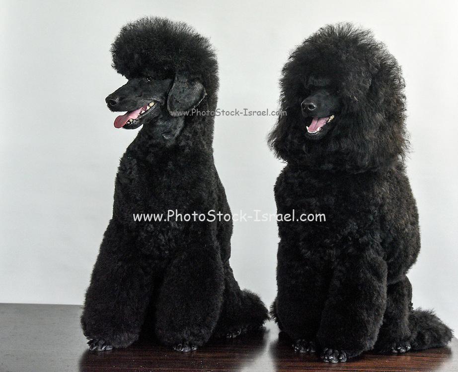 Two Black Medium or Moyen poodle