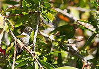 Male Black-chinned Hummingbird, Archilochus alexandri, perches in a Bottlebrush tree, Callistemon sp., at Sacramento National Wildlife Refuge, California