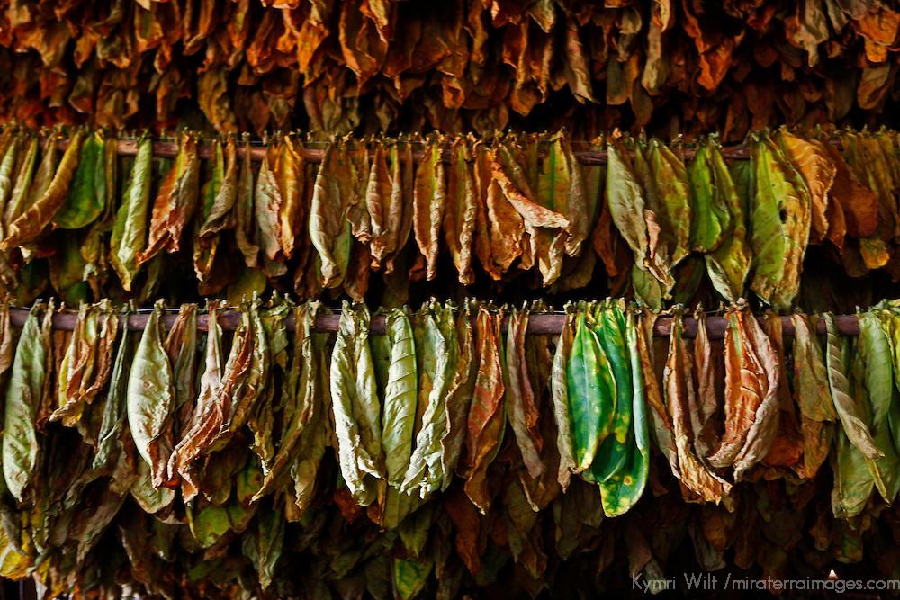 Cnetral America, Cuba, Pinar del Rio, San Luis. Drying tobacco leaves for cigars at Finca Robaina plantation.