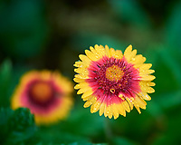 Blanket Flower. Image taken with a Nikon D810A camera and 105 mm f/2.8 macro  VR lens
