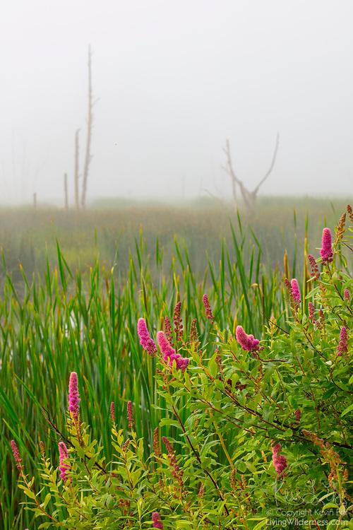 Western spirea (Spiraea douglasii) flowers along the edge of Wiley Slough in the Skagit Wildlife Area near Mount Vernon, Washington on a foggy morning.