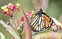 I had just gotten my Nikon D810 camera when I noticed this beautiful butterfly on a nearby plant in Santa Cruz, California.  What a way to break in my new camera!