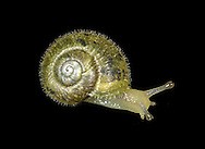 Green Snail - Ponentina subvirescens
