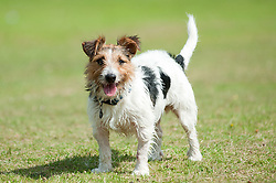 One small black, white and tan Jack Russell small Terrier standing in Park 9 Aug 2010 .Images © Paul David Drabble..