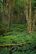 hillside of Sword Ferns (Polystichum munitum) and Bigleaf Maple (Acer macrophyllum) in the Anderson Landing Preserve on the Kitsap Peninsula of Washington, USA