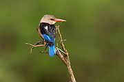 Brown-Hooded Kingfisher, Meru National Park, Kenya