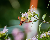 Hummingbird Clearwing Moth (Hemaris thysbe). Image taken with a Nikon N1V3 camera and 70-300 mm VR lens