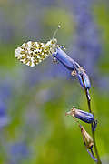 An Orange-tip Butterfly, Anthocharis cardamines, perched amongst Bluebells, Hyacinthoides non-scriptus, Edale, Peak District