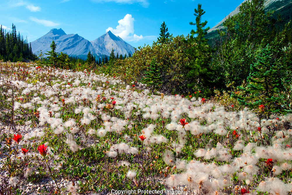 """Alpine wildflowers Dryas octopetala have turned into 2"""" whorls of fluffy seeds, accented by red Indian Paintbrushes (Castilleja coccinea). They cover the alpine foothills in late summer."""