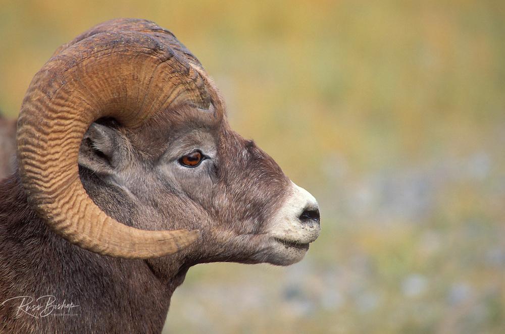 Close-up of a bighorn ram (Ovis canadensis), Jasper National Park, Alberta, Canada
