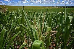 Plantio de milho na zona rural de Vacaria.  FOTO: Jefferson Bernardes/Preview.com