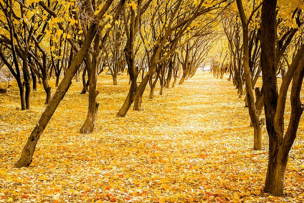 An apricot orchard in western Tajikistan dressed yellow autumn (fall) livery