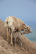 Bighorn ewe and nursing lamb in rocky habitat.