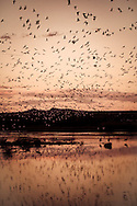 Snow Geese and Sandhill Cranes flying in at sunset at Bosque del Apache National Wildlife Refuge, New Mexico.