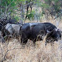 Africa, Zimbabwe, Victoria Falls. Cape Buffalo of Zimbabwe.