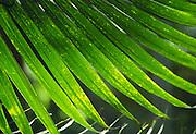 Palm leaf<br />