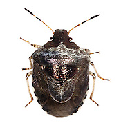 Woundwort Shield Bug<br />