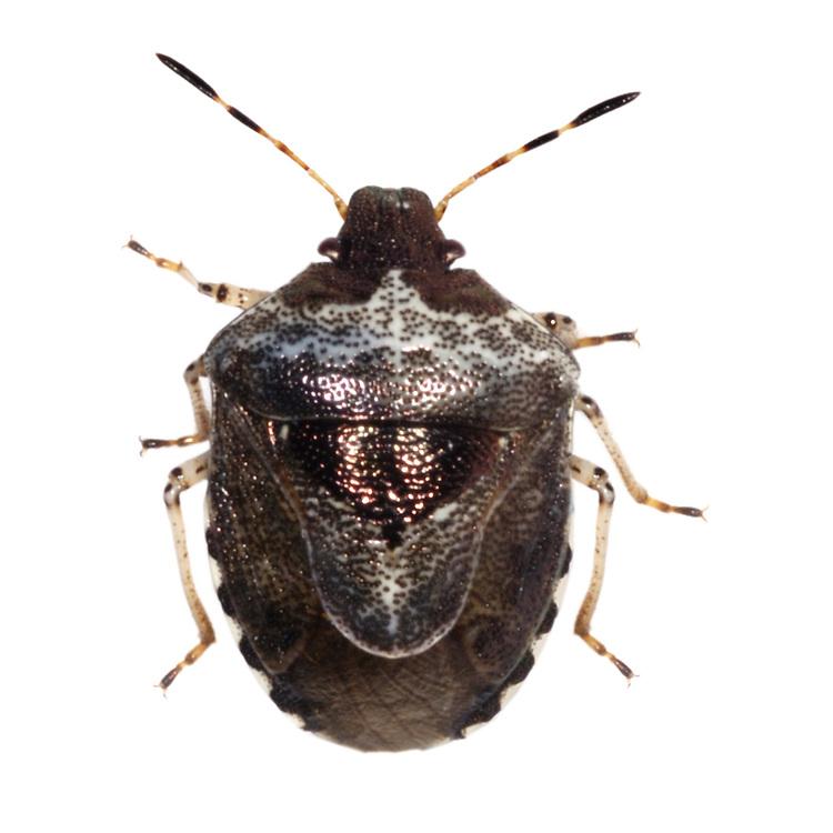 Woundwort Shield Bug<br /> EYSARCORIS FABRICII