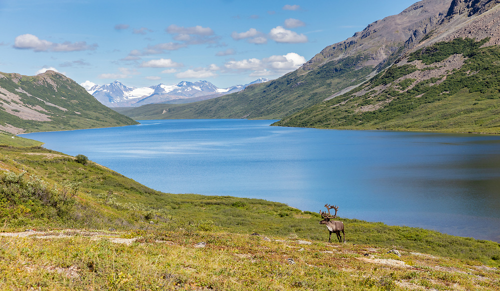 Caribou (Rangifer tarandus) along the shore of Landmark Gap Lake in Interior Alaska. Summer. Afternoon.