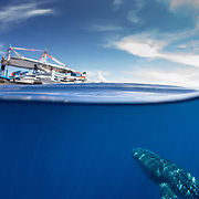 Over-under photo of a whale shark (Rhincodon typus) with a tourist below a tour banca boat, Honda Bay, Palawan, the Philppines