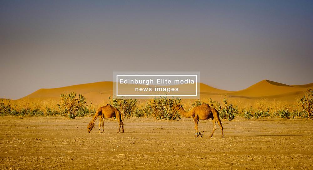 Camels in the Moroccan Sahara Desert in the early morning<br /> <br /> (c) Andrew Wilson   Edinburgh Elite media