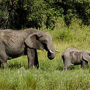 African Elephant ( Loxodanta africana) Mother with young baby. Masai Mara National Park. Kenya. Africa.