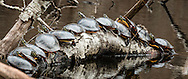 Fourteen painted turtles are crowded onto a log in Silver Spring at the Wellfleet Bay Audubon Wildlife Refuge.