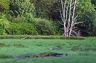 A dead Oak Tree in the tidal area of Elgin Heritage Park in Surrey, British Columbia, Canada