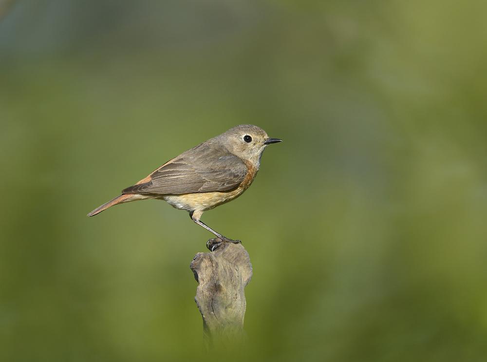 Common Redstart - Phoenicurus phoenicurus - <br /> female