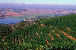 Areado, Minas Gerais, Brasil. 07/2002. .Lavoura de cafe, Catuai Vermelho. Cafe de montanha, plantacao em declive./ Coffee harvest, Red Catuai. .Foto © Marcos Issa/Argosfoto