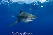 tiger shark ( Galeocerdo cuvier ) North Shore, Oahu, Hawaii, USA ( Central Pacific Ocean )