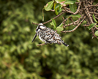 Pied Kingfisher. Chobe river, Botswana. Image taken with a Fuji X-T1 camera and 55-200 mm lens.