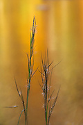 Grasses Awash
