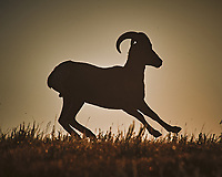 Bighorn Ram at Sunrise. Image taken with a Nikon D700 camera and 80-400 mm VR lens (ISO 200, 400 mm, f/11, 1/2000 sec).