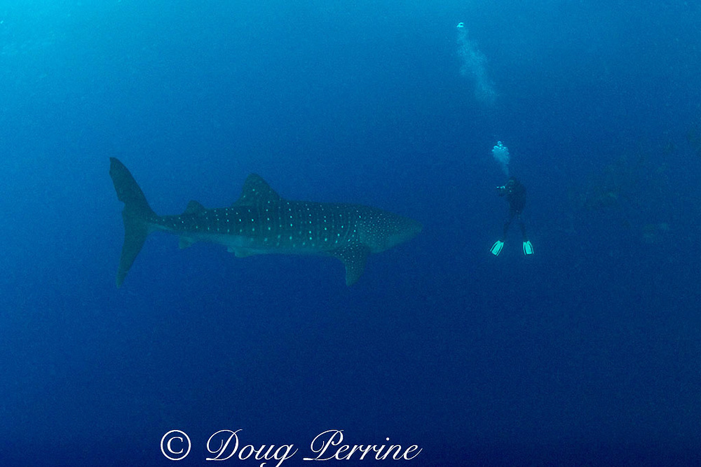 Dan Castellanos videotapes whale shark, Rhincodon typus, <br /> which is coming in to feed on eggs of snappers spawning <br /> just behind Dan, Gladden Spit & Silk Cayes Marine Reserve, off Placencia, Belize, Central America ( Caribbean Sea ) MR 317